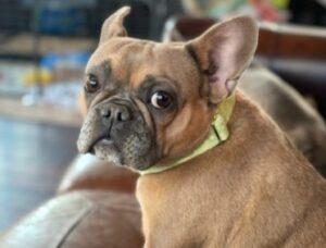 aspen french bulldogs