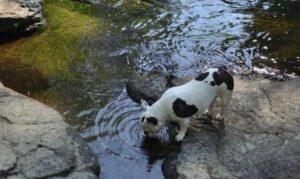Black Oak French Bulldogs
