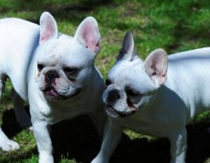 Faberge Frenchies