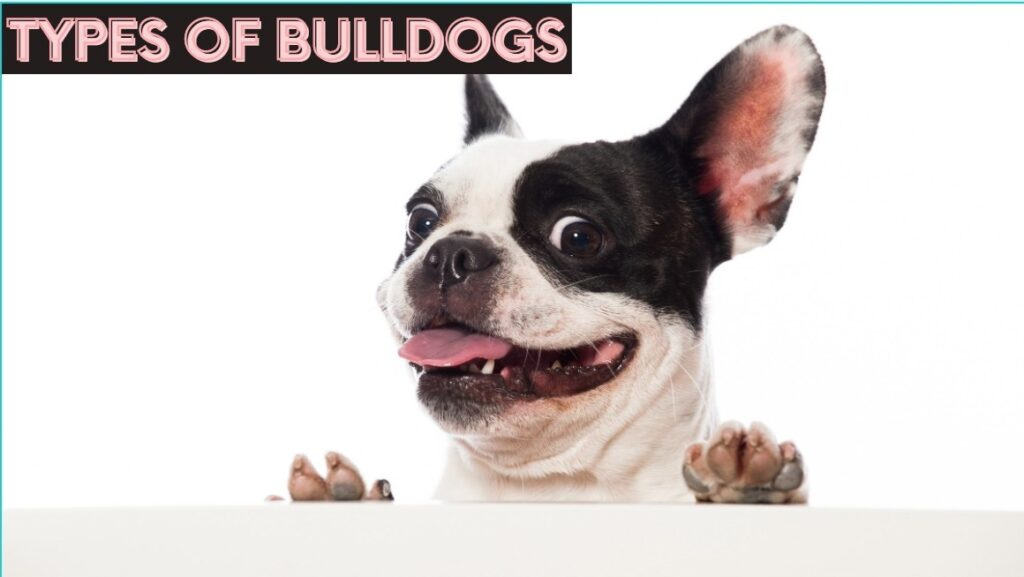 types of bulldogs