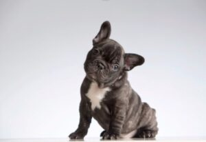 are french bulldogs born with a tail