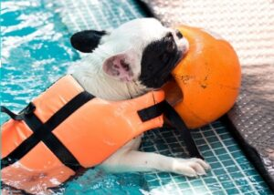 french bulldog swimming vest