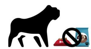 french bulldog not eating