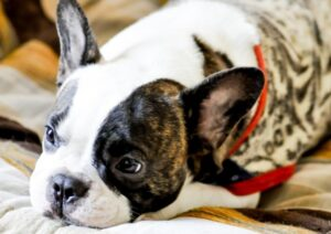 breeder vs shelter french bulldog