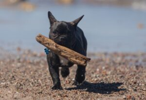 french bulldog breeder advantages