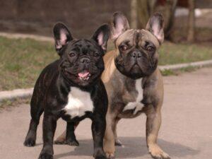 french bulldog breeder disadvantages