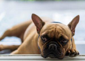 french bulldog shelter disadvantages