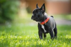 french bulldog temperant