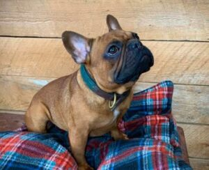 french bulldogs of connecticut