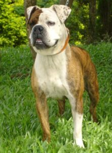 Serrano Bulldog