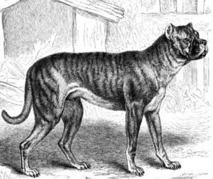 Bullenbeisser (German Bulldog)