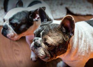 french bulldog puppies los angeles