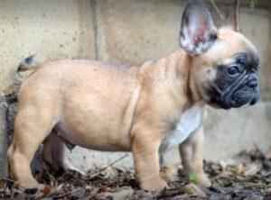 schoolyard bullies french bulldog