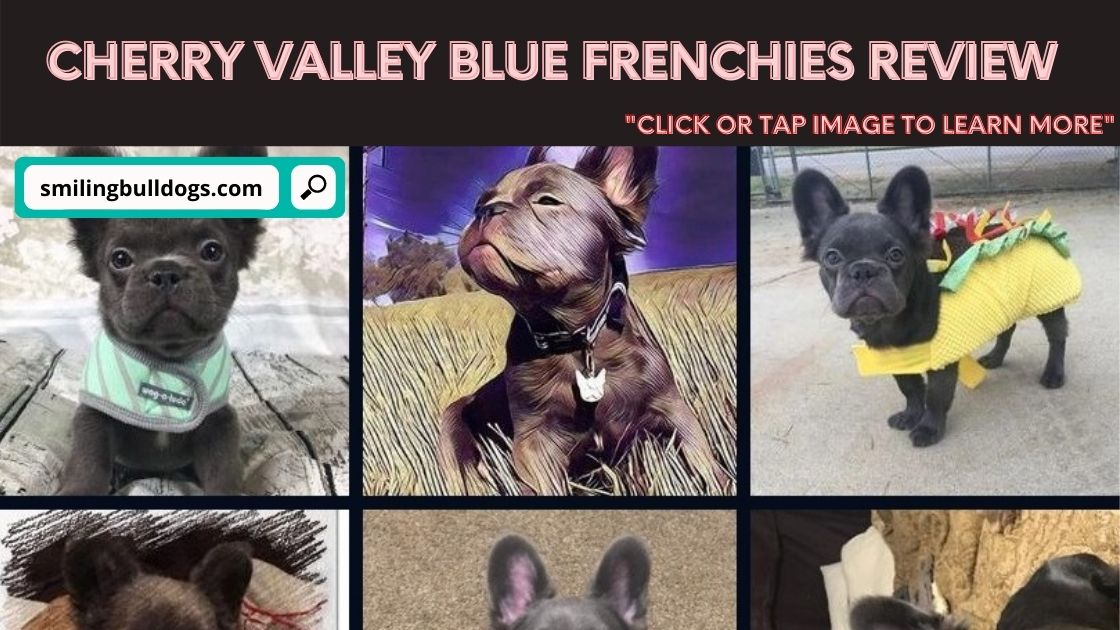 Cherry Valley Blue Frenchies