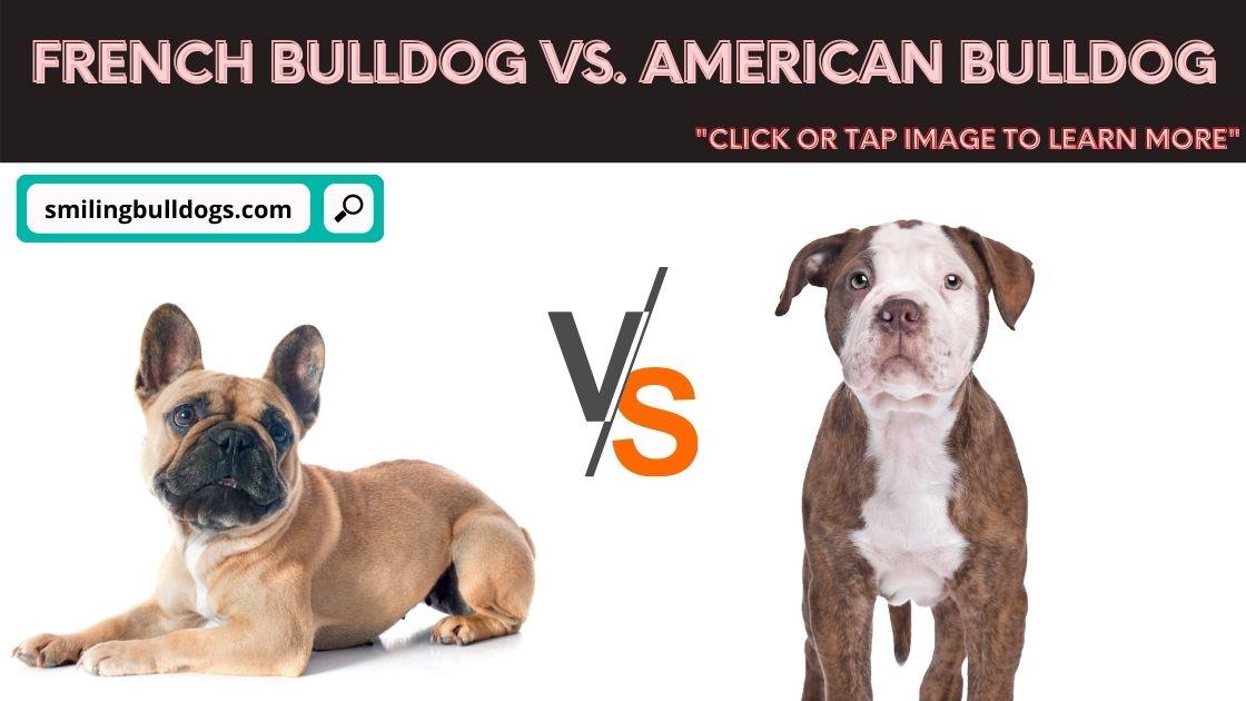 french bulldog vs american bulldog