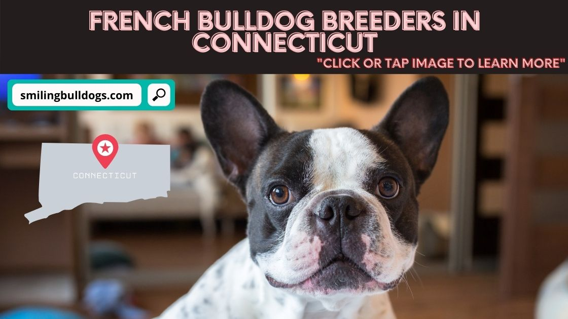 french bulldog breeders in connecticut