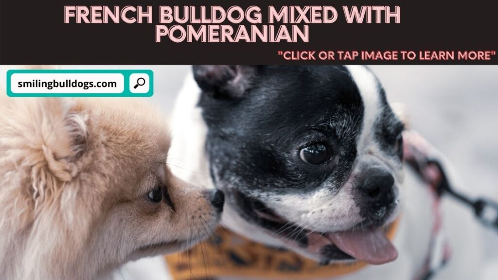 french bulldog mixed with pomeranian