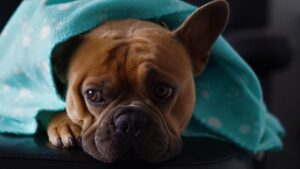 Cherie's Bulldog