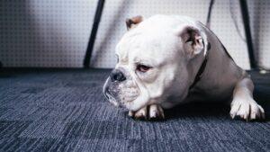 French Bulldog VS. Pitbull:
