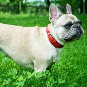 Red Rock French Bulldogs