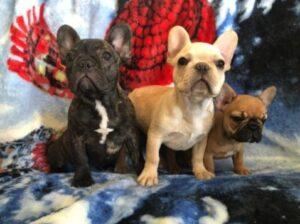 Distinctive French Bulldogs