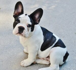 french bulldog watchdog