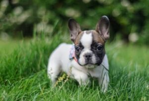 French Bulldog Rescue In Connecticut - Rescue Me