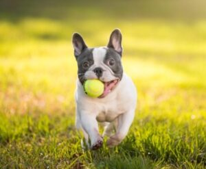 Hawaii French Bulldog Rescue