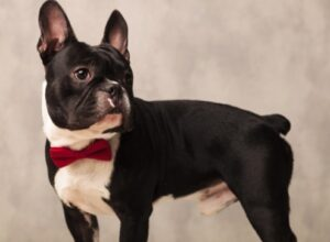 French Bulldog Rescue In North Carolina - Saving Grace
