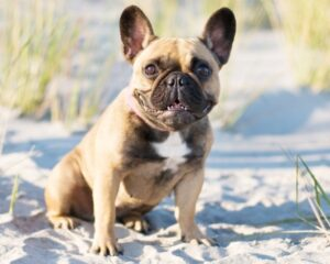 Cape Cod French Bulldogs