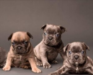 South Florida French Bulldogs