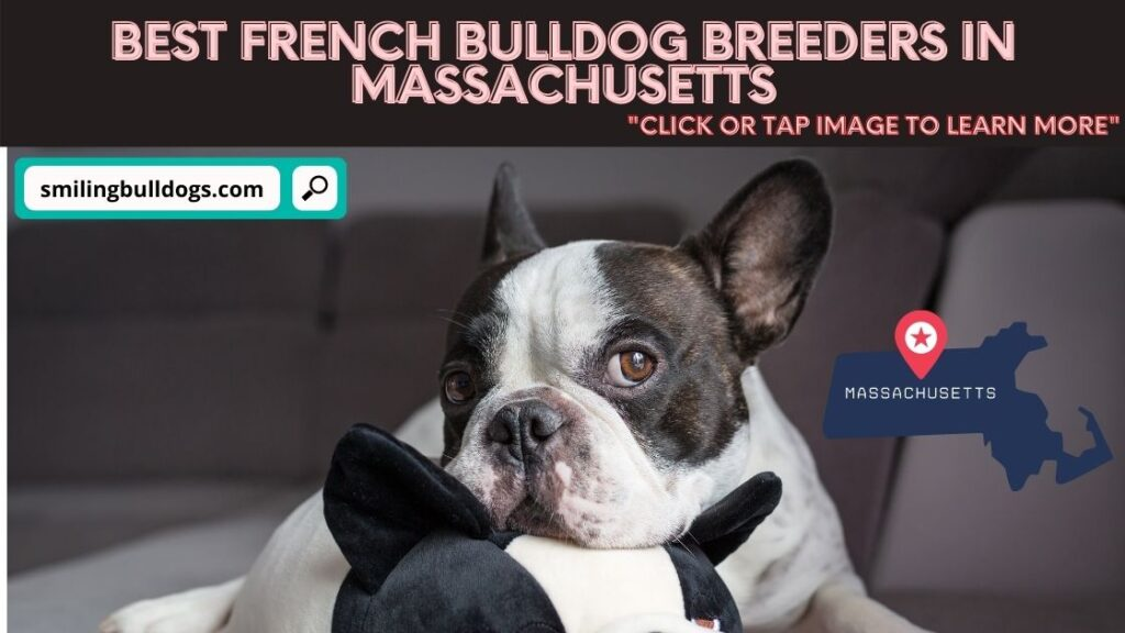 french bulldog breeders in massachusetts