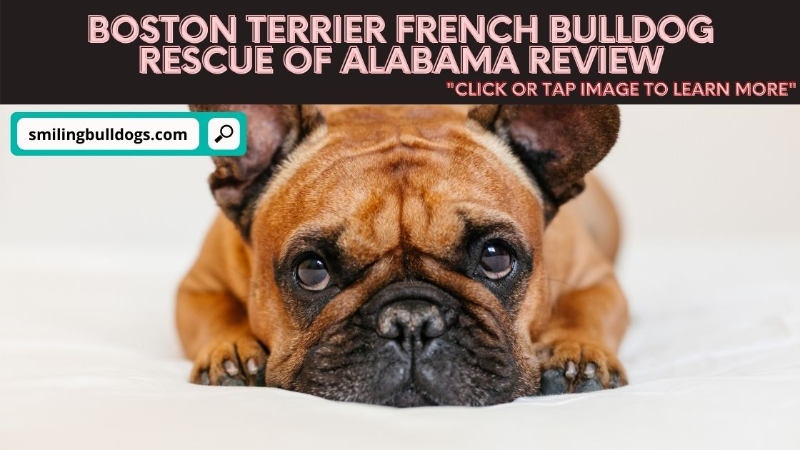 boston terrier french bulldog rescue of alabama