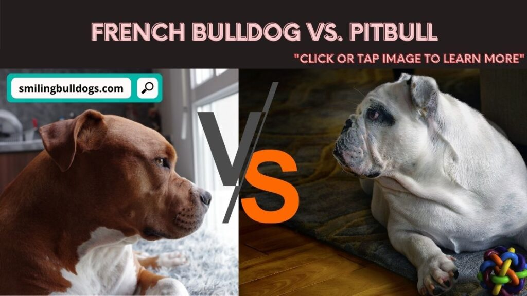 french bulldog vs pitbull