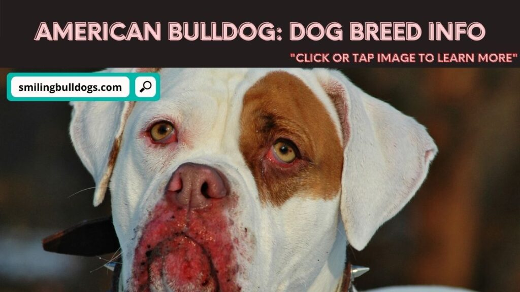 american bulldog dog breed info