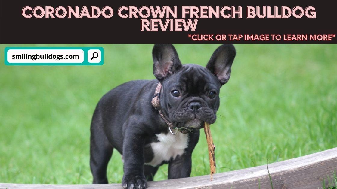 coronado crown french bulldog