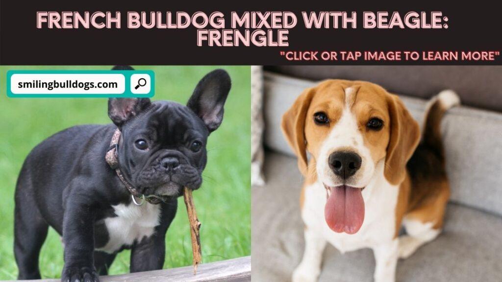 FRENCH BULLDOG mixed with beagle