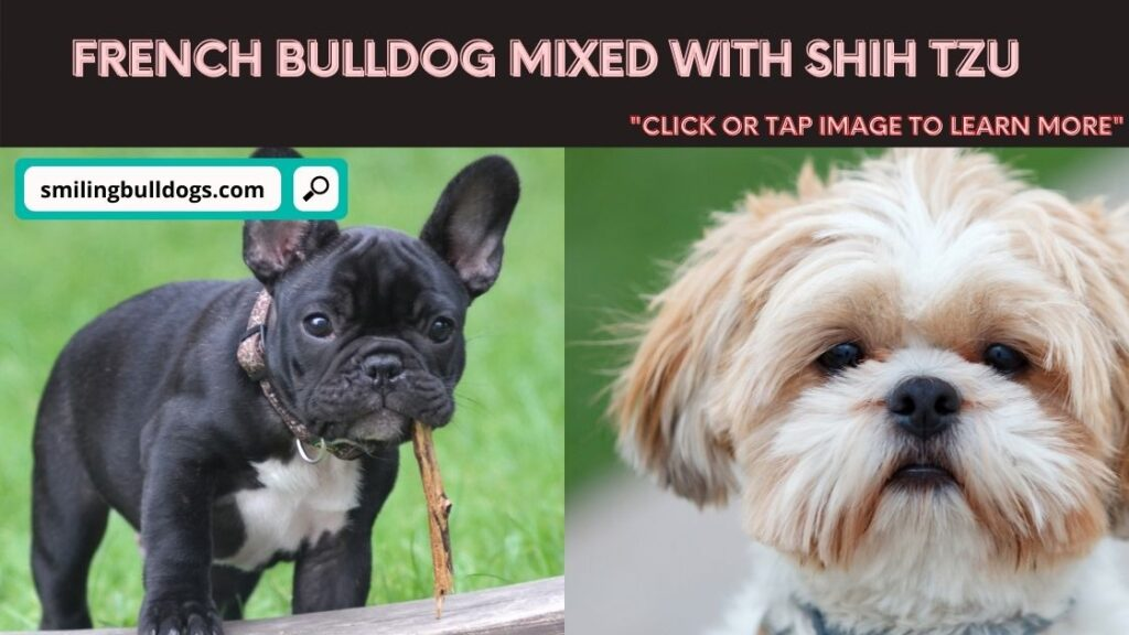 french bulldog mixed with shih tzu