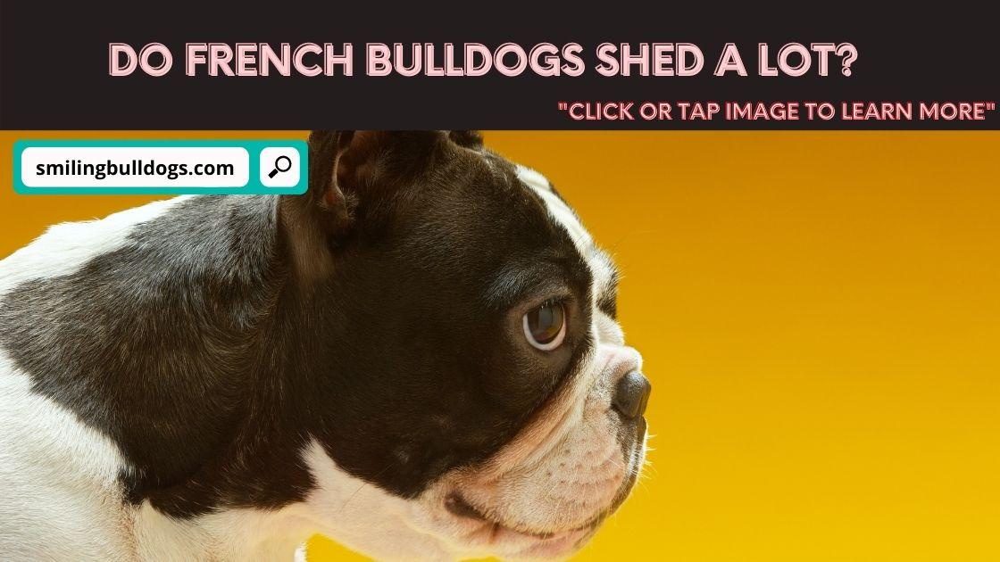 Do French Bulldogs Shed A lot