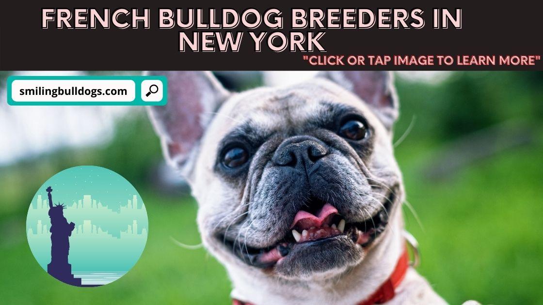 french bulldog breeders in new york