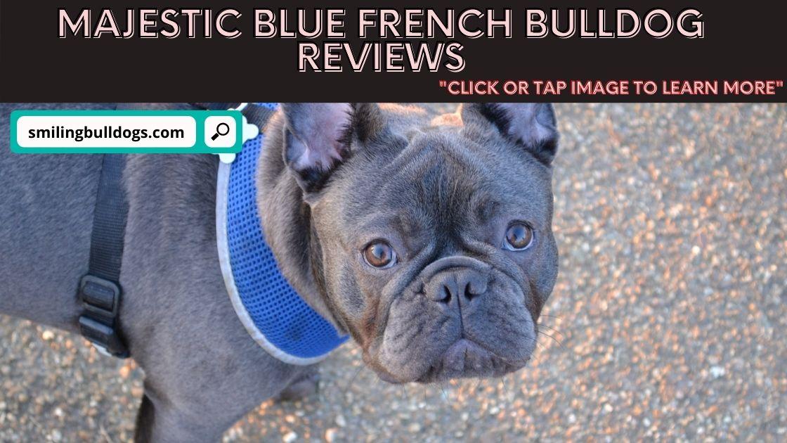 majestic blue french bulldogs