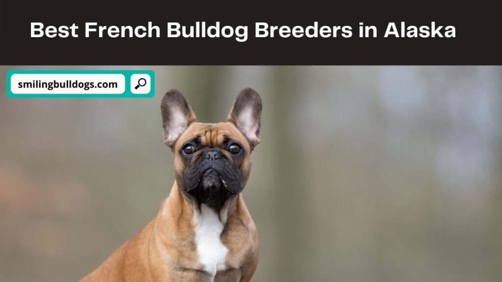 French Bulldog Breeders in Alaska
