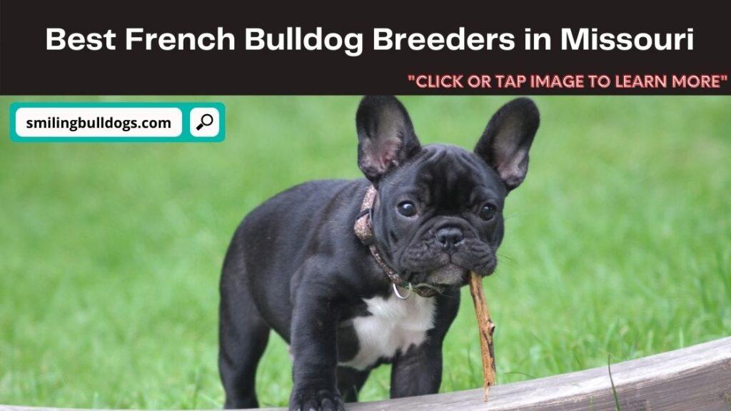 French Bulldog Breeders in Missouri