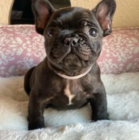 French Bulldog Breeders in Pennsylvania