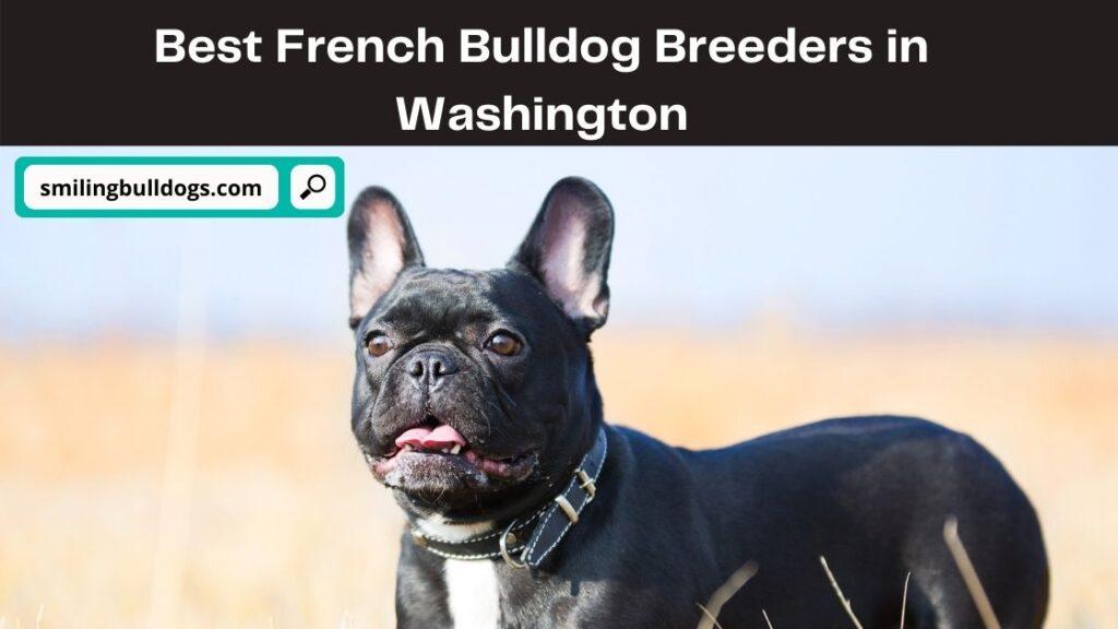 French Bulldog Breeders in Washington